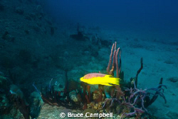 Hogfish at the Rhone by Bruce Campbell 